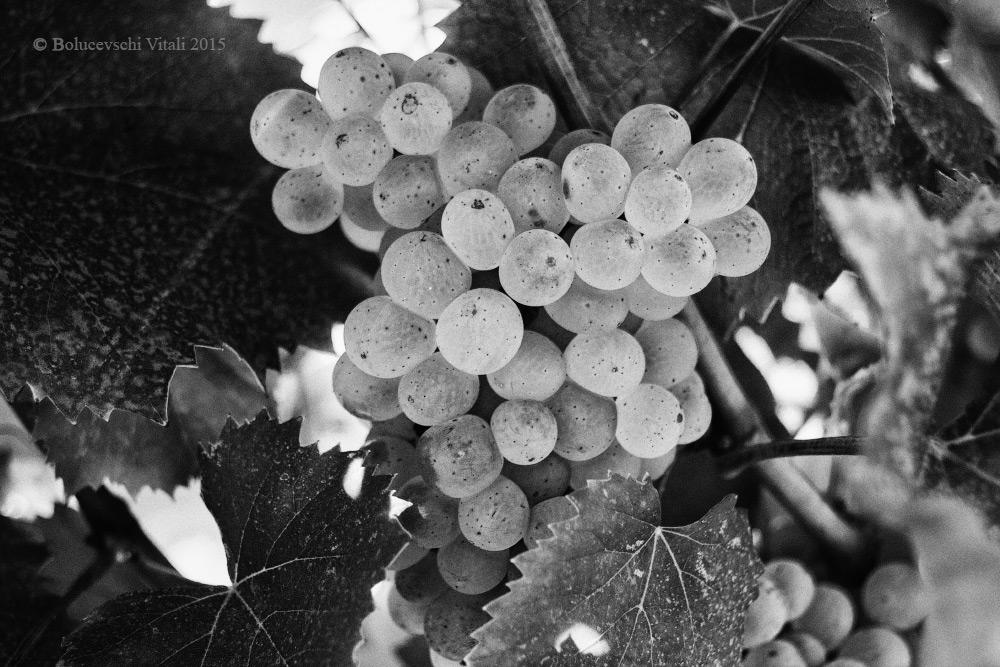 виноград, Молдова, фотограф