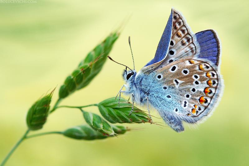 бабочка, фотография, фотограф, Молдова, природа, макро